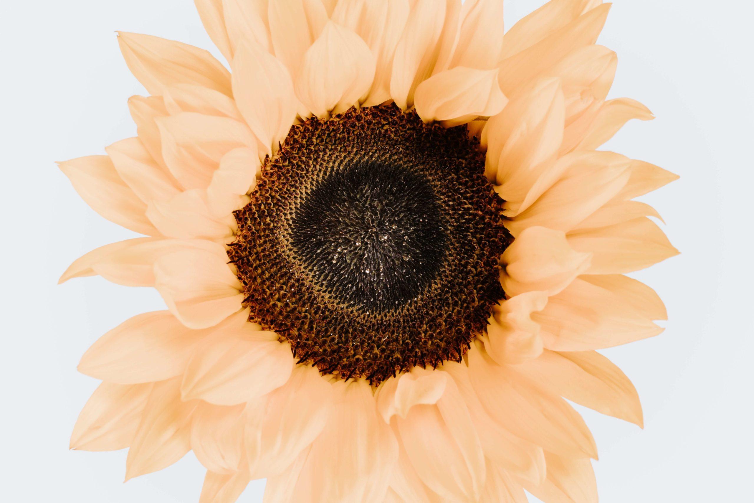 På billedet ses et closeup af en solsikke